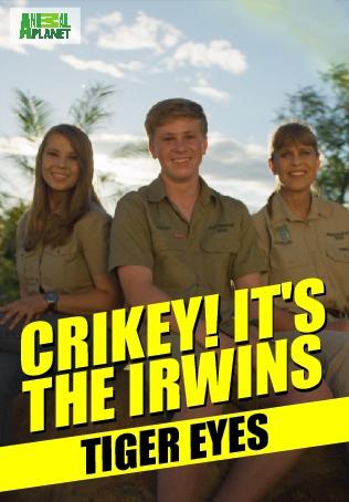Crikey! It's the Irwins : TIGER EYES