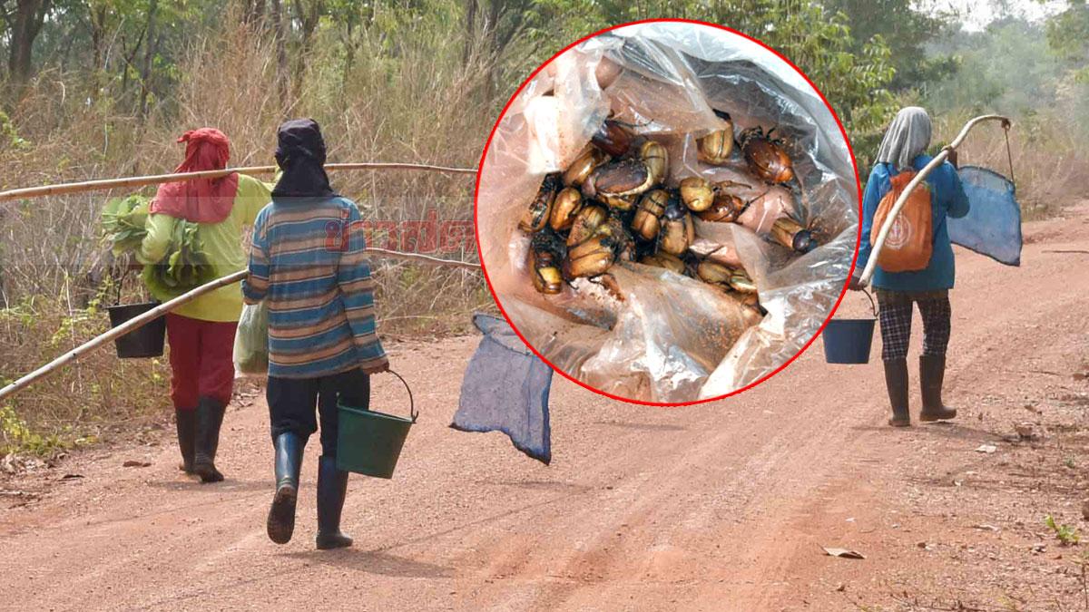 หนีโควิดระบาด ชาวบ้านไม่เสี่ยงไปตลาด ออกหาของป่าทำอาหาร ประหยัดรายจ่าย