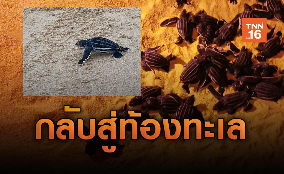 ลูกเต่ามะเฟือง 75 ตัว ฟักออกจากไข่เดินลงสู่ทะเลหาดท้ายเหมือง