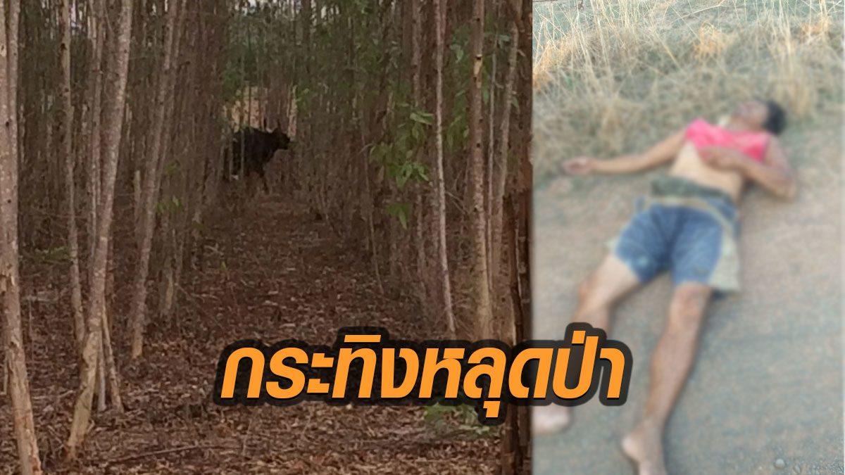 กระทิงดุหลุดป่า ออกเขตอุทยานฯทับลาน วิ่งไล่ขวิดชาวบ้านขี่จยย.เจ็บสาหัส