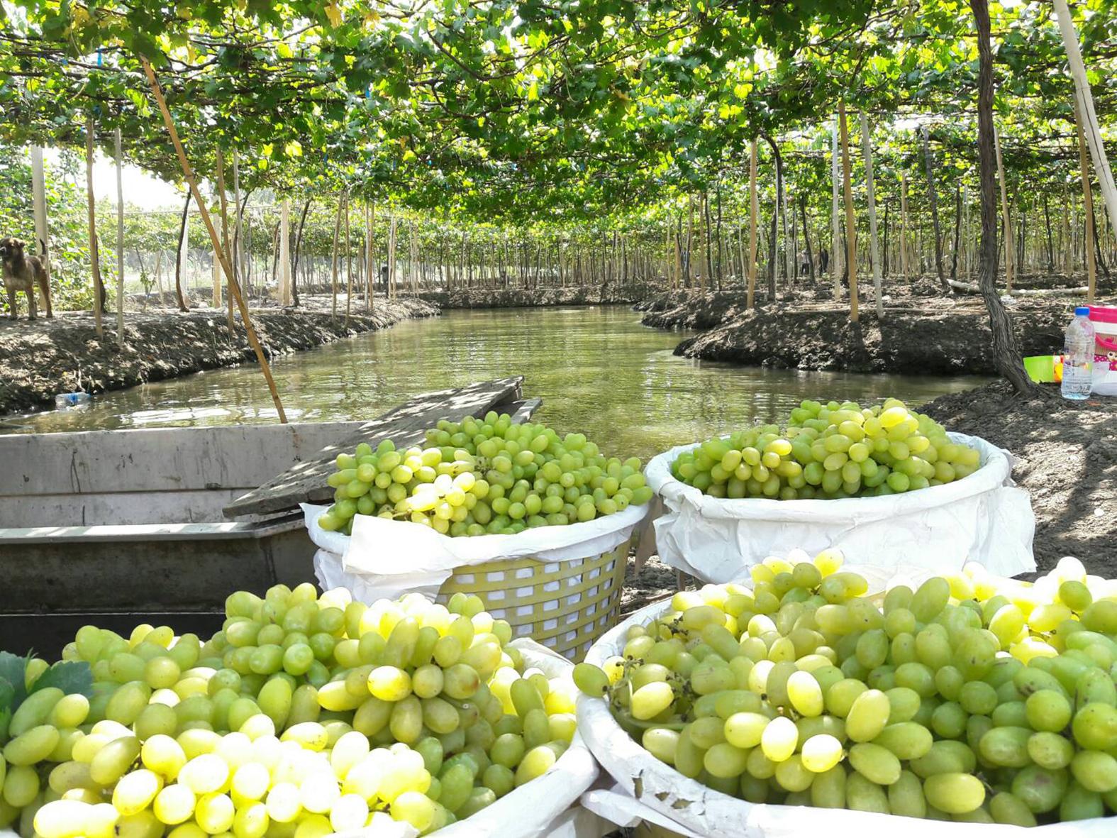 ชาวสวนองุ่นวอนภาครัฐช่วย ส่งออกไม่ได้ติดโควิด องุ่นค้างในสวนกว่า 2 พันตัน