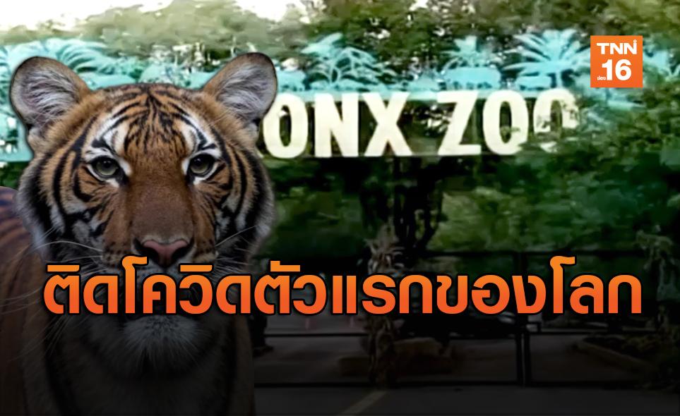 เสือสวนสัตว์นิวยอร์ก ติดเชื้อโควิด-19 ตัวแรกในโลก!