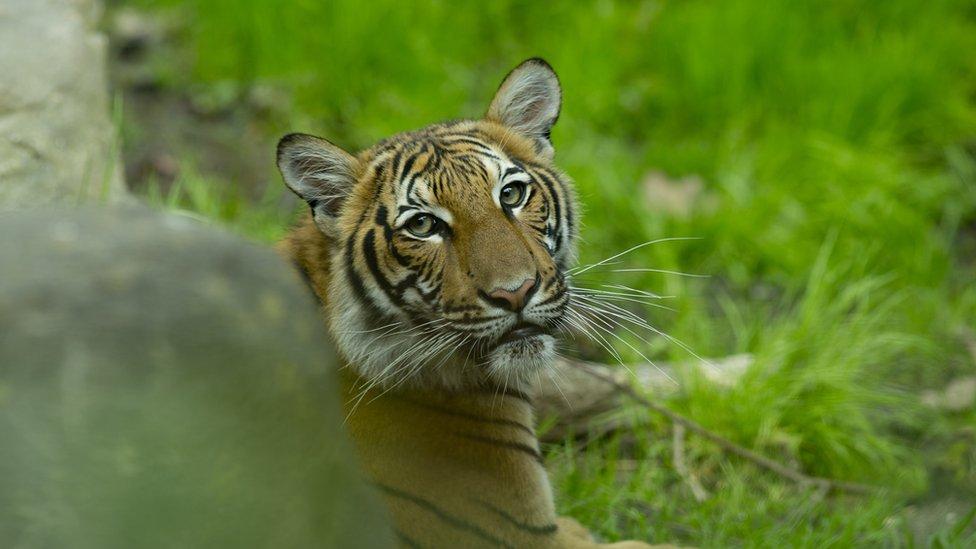 โควิด-19 : เสือโคร่งมลายูในสวนสัตว์นครนิวยอร์กติดเชื้อไวรัสโคโรนาสายพันธุ์ใหม่