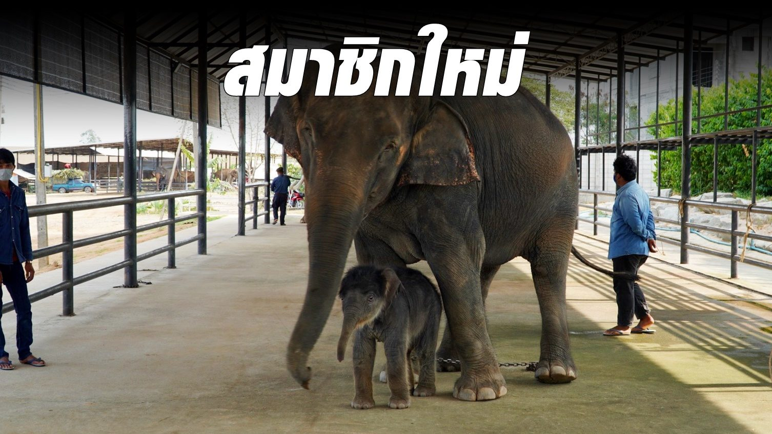 แม่ช้างสวนนงนุช คลอดลูกเชือกที่ 94 ตัวที่ 3 ของปี ตั้งชื่อ 'พังโสภา'
