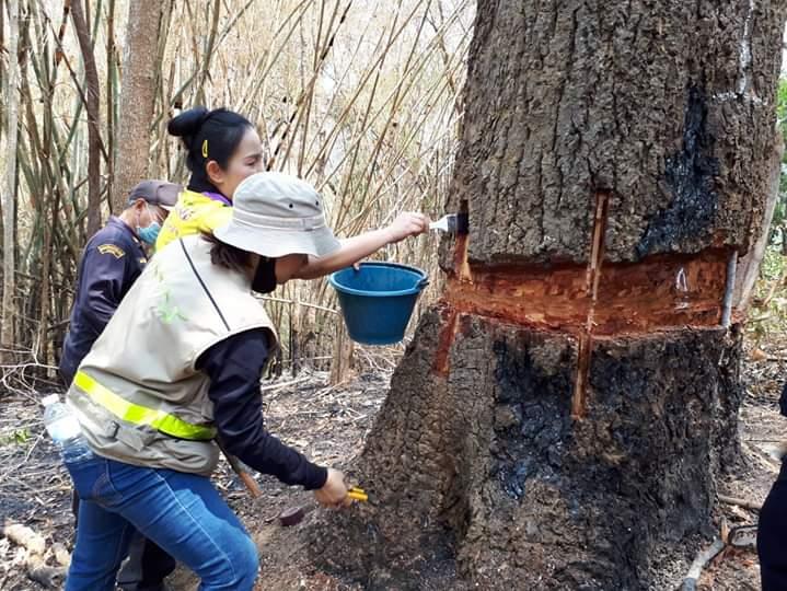 ระดมรุกขกรต่อชีวิตต้นไม้ใหญ่กว่า100ต้นป่าต้นน้ำสำคัญเมืองแพร่