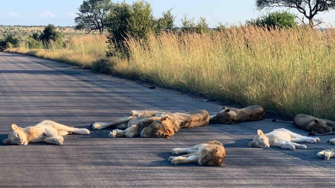 ผลกระทบโควิด:สิงโตออกจากป่า นอนกลางวันบนถนนไร้รถวิ่ง