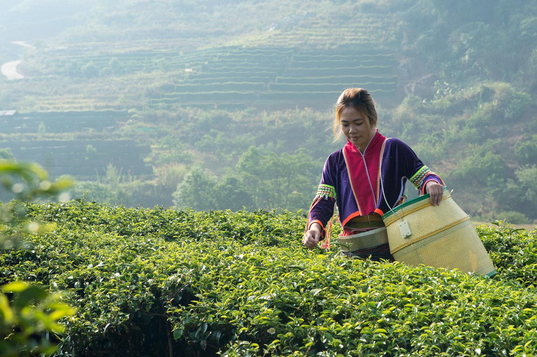 'วีรศักดิ์'หนุนเกษตรกรชา เพิ่มตลาดออนไลน์ลดผลกระทบโควิดและพยุงส่งออก9พันตัน/ปี