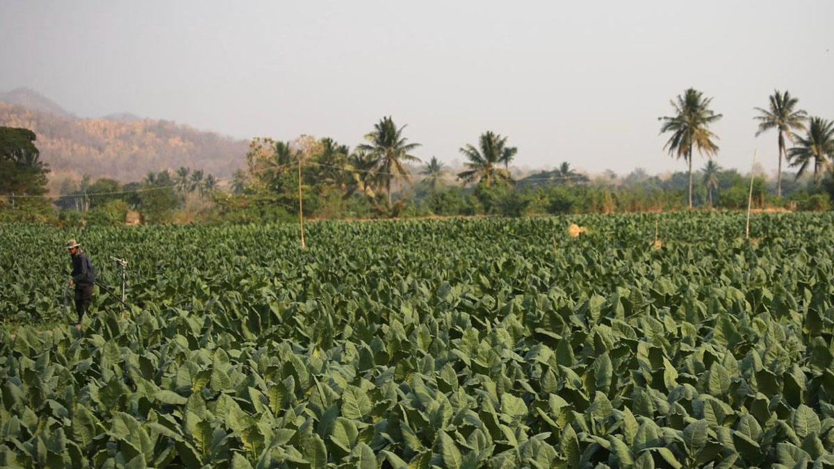 ชาวไร่ยาสูบ วอนคลังเลื่อนขึ้นภาษี 40 % ลดผลกระทบภัยแล้ง–โควิด19