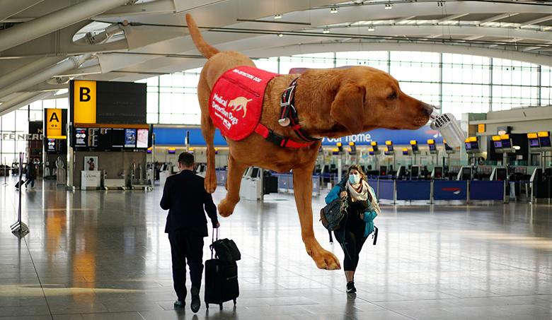 โควิด: ฝึกสุนัขดมกลิ่น หาคนติดเชื้อไวรัสโคโรนา ได้ผลฉับไวที่สนามบิน