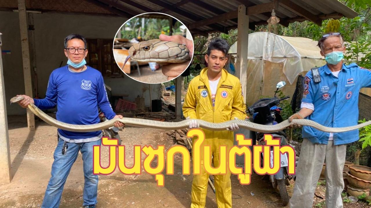 กระบี่-ผงะ งูจงอางยาวกว่า 4 เมตร เลื้อยสยองซุกตู้เสื้อผ้า (ชมคลิป)