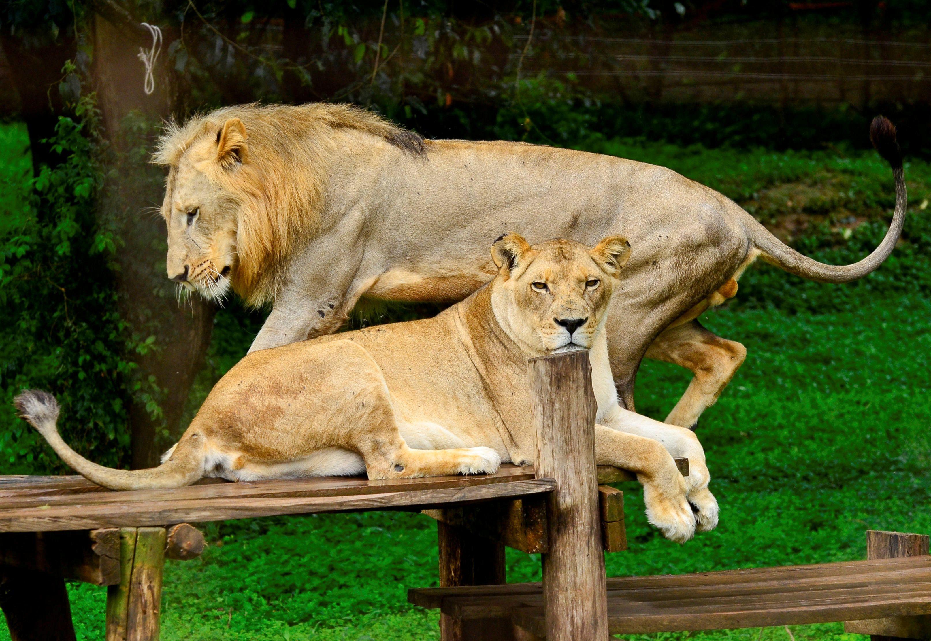 สวนสัตว์บร็องซ์ เจอเสือติดโควิด-19 เพิ่ม 4 ตัว สิงโตติดด้วย 3 ตัว