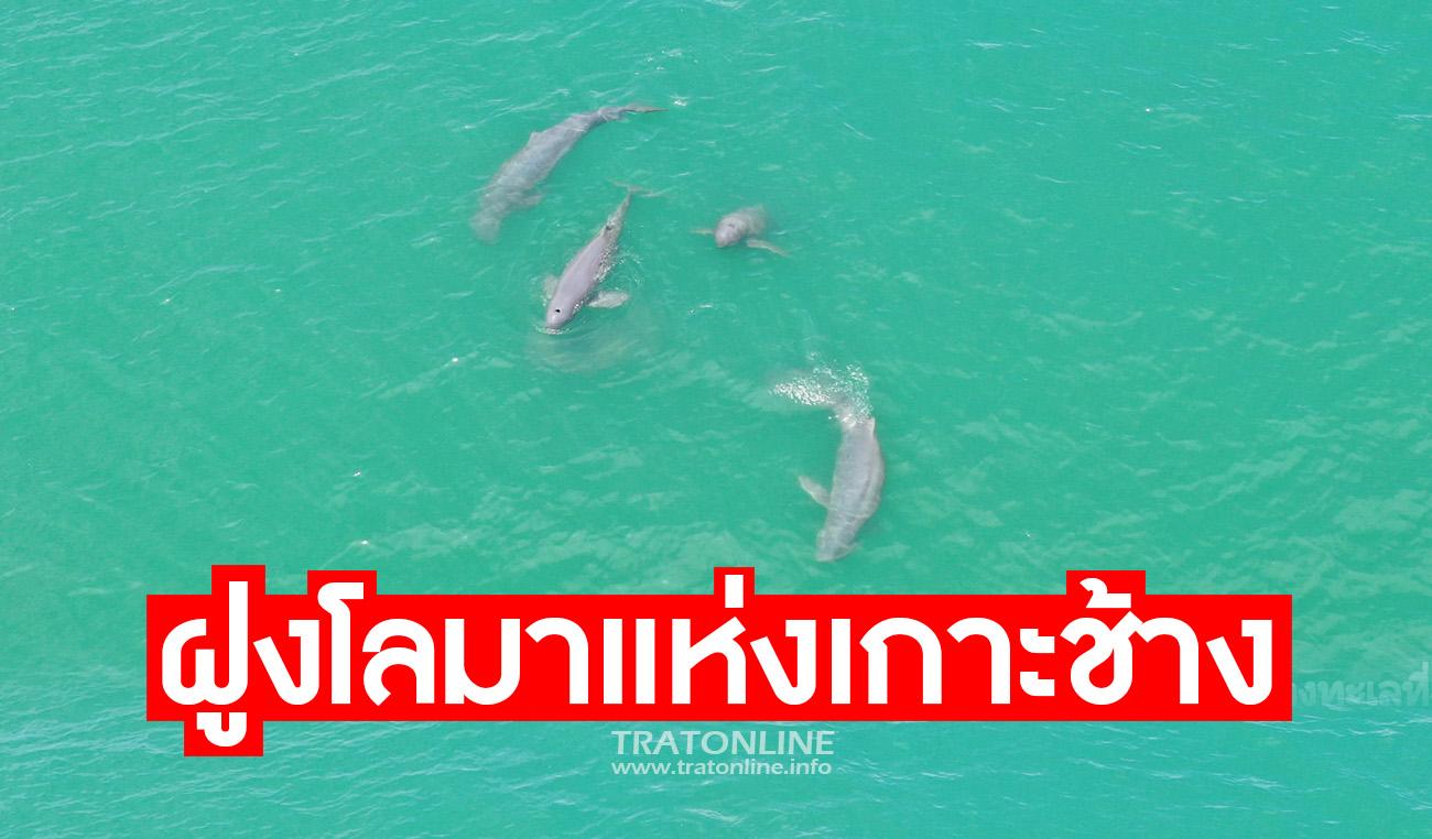 บินโดรนสำรวจ พบฝูงโลมา 10 ตัว ใกล้เกาะช้าง หลังประกาศปิดเที่ยวเขตอุทยาน