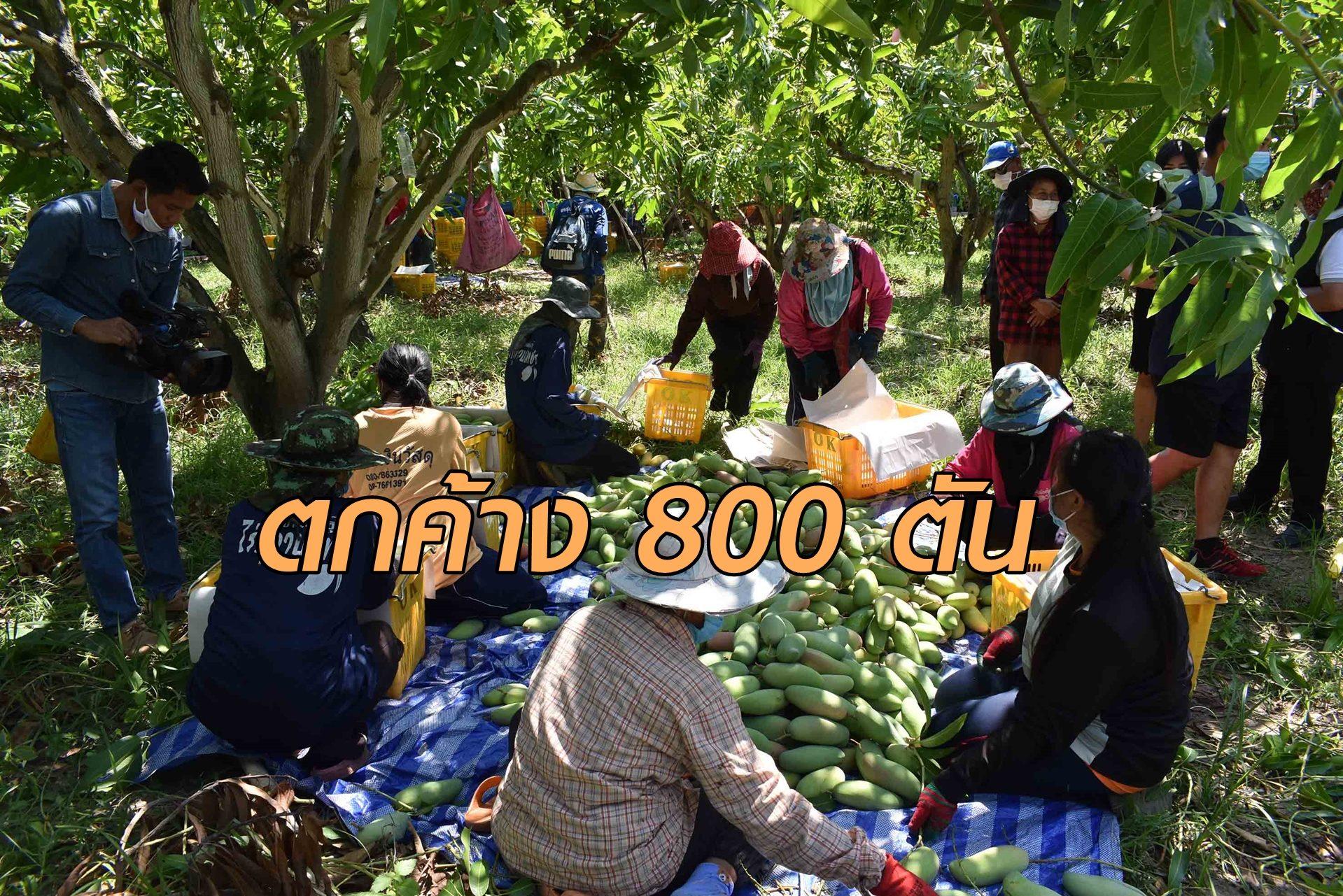 สุดช้ำ!โควิดพ่นพิษ ชาวสวนมะม่วงน้ำตาตก ตลาดรับซื้อปิด ผลผลิตตกค้าง 800 ตัน