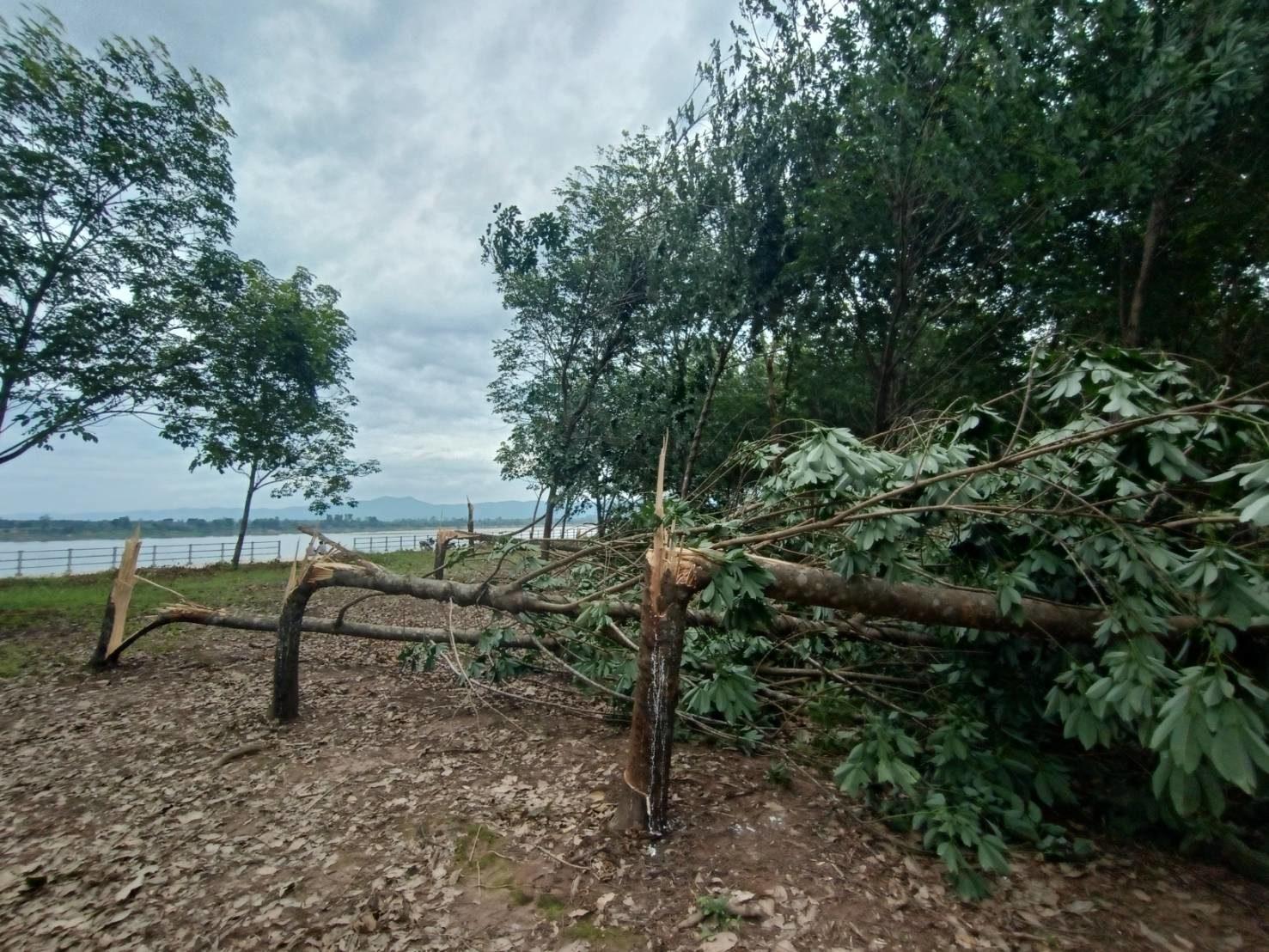 'บึงกาฬ' พายุฤดูร้อนกระหน่ำ สวนยางพาราหักโค่นซ้ำเติมเกษตรกร