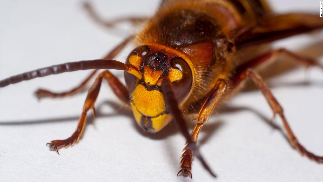 แตนมรณะ โผล่สหรัฐครั้งแรก จู่โจมจากเอเชีย ทำลายรังผึ้งเจ้าถิ่น