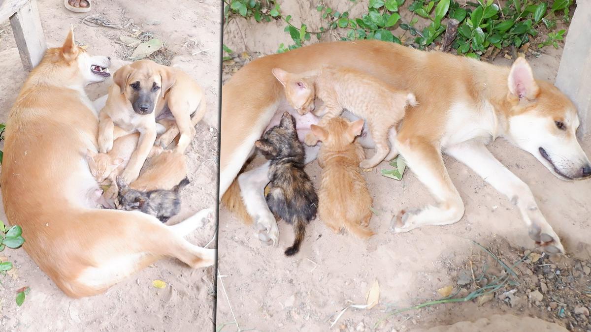 ทึ่ง! รักต่างสายพันธุ์ แม่หมา เลี้ยงลูกแมวกำพร้า ให้ดูดนมจากเต้า ดูแลเหมือนลูกตัวเอง
