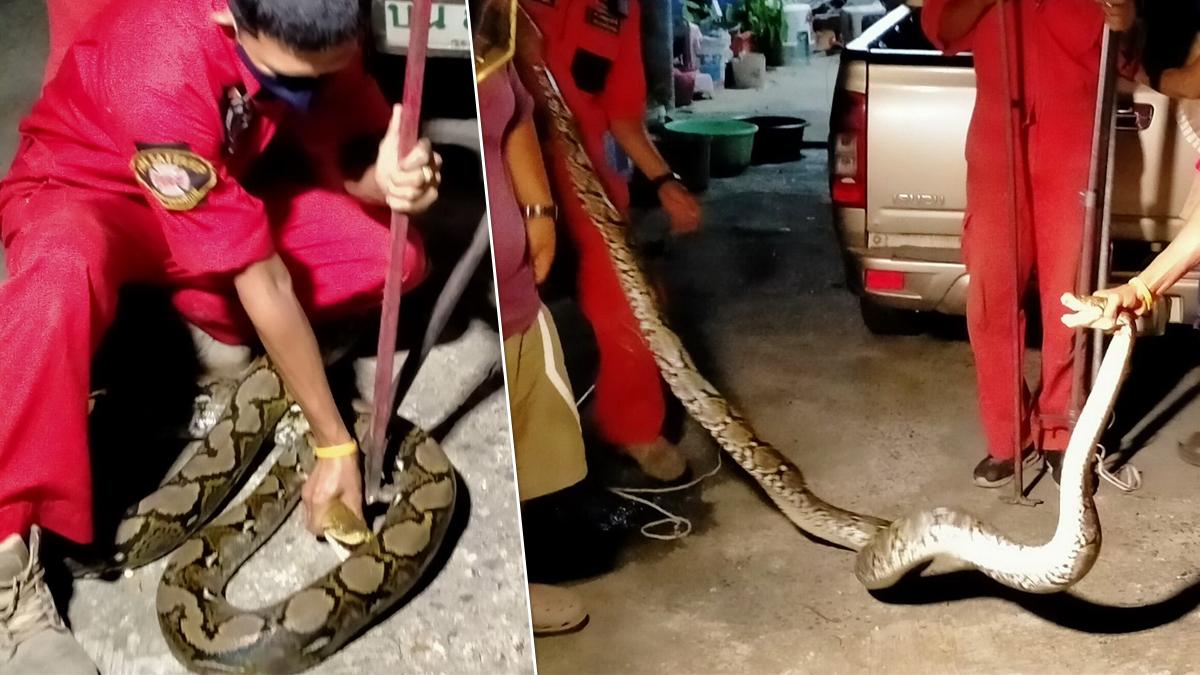 จับงูเหลือม ยาว 4 เมตร ขาประจำขโมยไก่ กว่าจะหาเจอ คราวนี้พาลูกมาด้วย