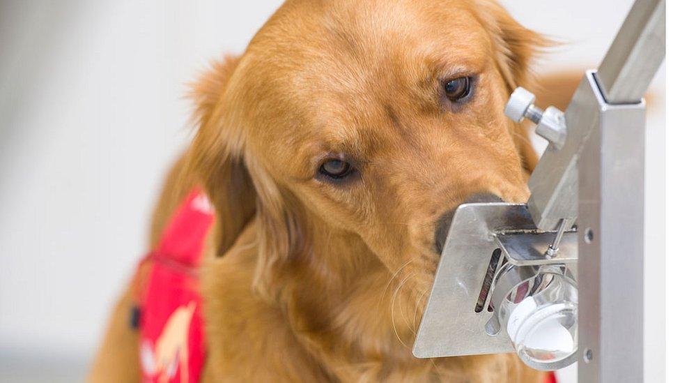 โควิด-19 : อังกฤษเริ่มการวิจัยเพื่อหาว่าสุนัขสามารถดมกลิ่นหาผู้ติดเชื้อไวรัสโคโรนาสายพันธุ์ใหม่ได้ไหม