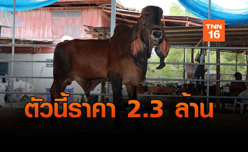 ฮือฮา!! ผู้ใหญ่บ้านอ่างทอง ขายวัวฮินดูบราซิล ราคา 2.3 ล้าน