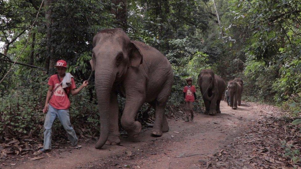 โควิด-19 : วิกฤตโรคระบาดเปิดโอกาสให้ช้างบ้านนับร้อยกลับถิ่น หลังธุรกิจท่องเที่ยวฟุบ