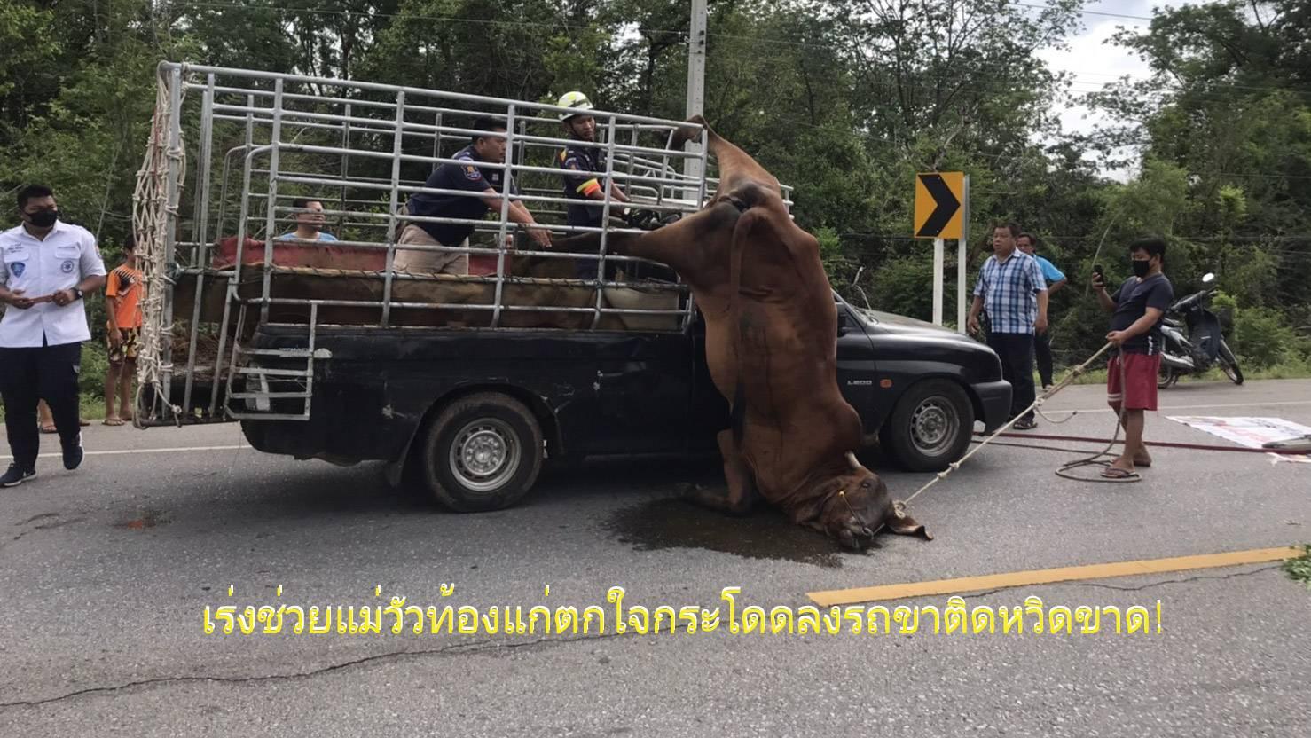 เร่งช่วยวุ่นกลางถนนแม่วัวท้องแก่ตกใจกระโดดลงรถ ขาติดห้อยกรงเหล็กหวิดขาด (คลิป)