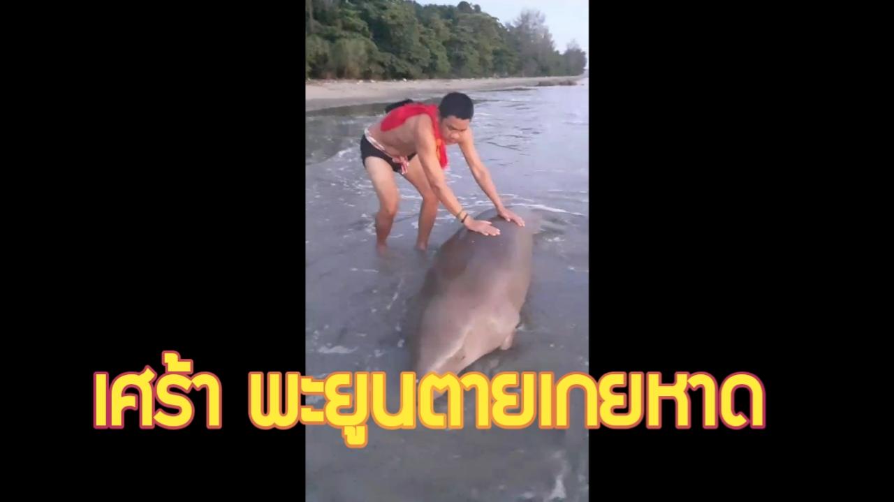 กระบี่-สลด พบซากพะยูนเพศผู้ ลอยเกยตื้นชายหาดทุ่งทะเล (ชมคลิป)