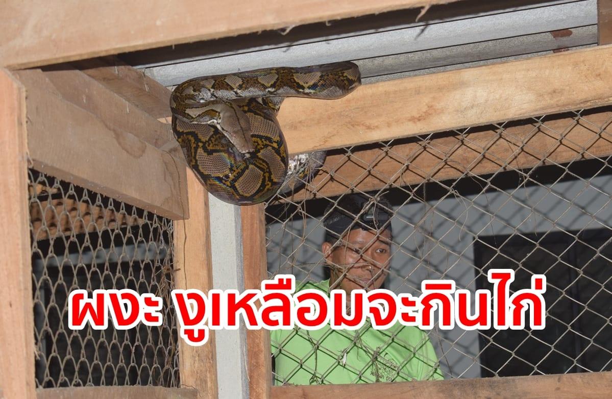 ผงะ งูเหลือมจะเข้ามากินไก่ในเล้าได้กลุ่มสามัคคีรวมใจอาสาพาบุญมาช่วย