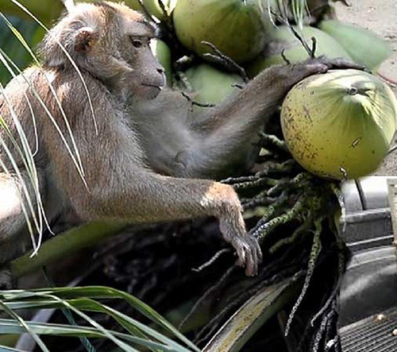 พณ.สั่งทูตไทยประจำลอนดอน แจงลิงเก็บมะพร้าวเป็นวิถีของชาวบ้าน ไม่ใช่ทารุณสัตว์ เตรียมส่งเทียบเชิญทูตทั่วโลกดูให้เห็นกับตา