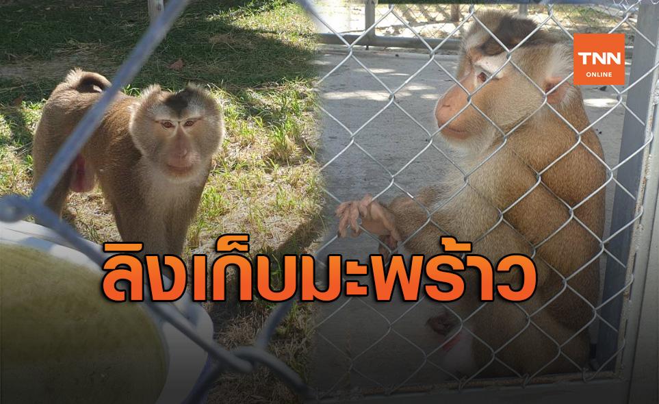 ผู้ก่อตั้ง มูลนิธิเพื่อนสัตว์ป่า สะท้อนมุมมอง ว่าด้วยเรื่อง ลิงเก็บมะพร้าว