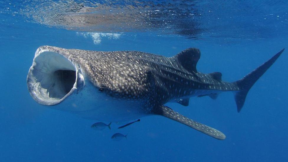 ฉลามวาฬมีลูกตาหุ้มเกราะ คล้ายฟันซี่เล็กนับร้อยทำหน้าที่แทนเปลือกตา