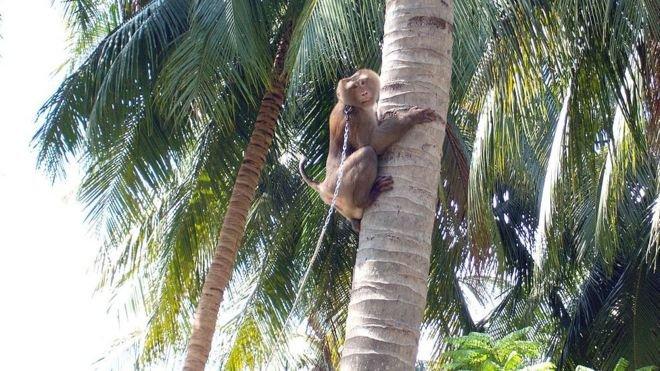 มะพร้าวไทย : พาณิชย์-ภาคเอกชน ปฏิเสธอุตสาหกรรมมะพร้าวไทยบังคับใช้แรงงานลิงเก็บมะพร้าว