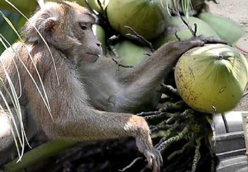 ทารุณจ๋อ? พณ.เชิญคณะทูตดูลิงเก็บมะพร้าว เร่งแจงอังกฤษ-อียู-ปัดบังคับสัตว์
