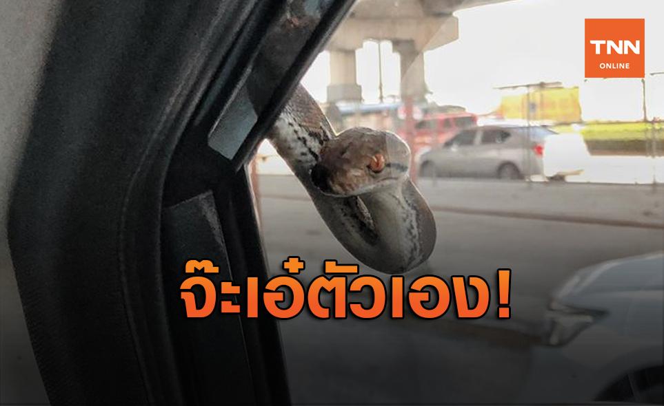 เปิดนาทีสบตา!สาวขับรถอยู่ดีๆงูเหลือมโผล่จ้องหน้าทักทาย ใจหายวาบ