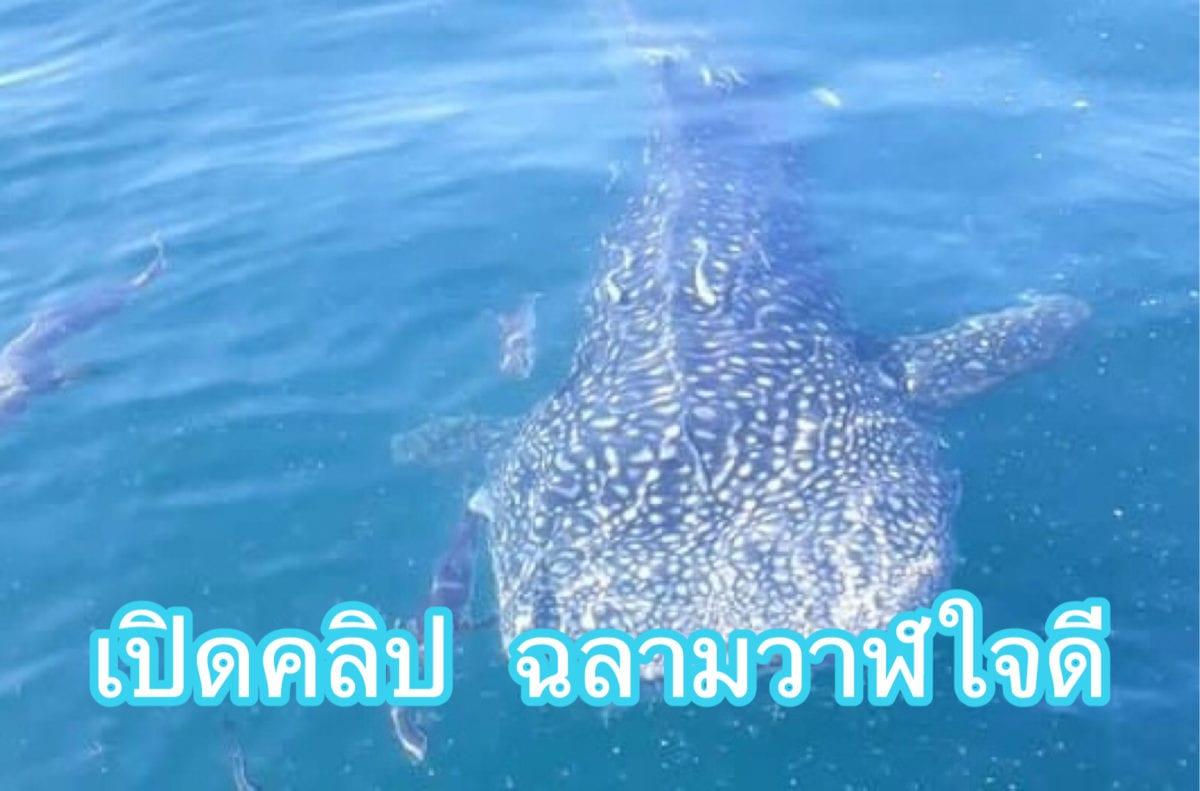 เปิดคลิปฉลามวาฬ พี่ใหญ่ใจดีที่ชะอำ ลูบหัวเล่นได้เลย!!!