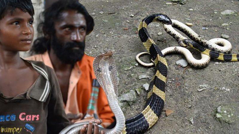 การศึกษาใหม่ชี้ 20 ปีที่ผ่านมา ประชากรอินเดียถูกงูกัดตายมากกว่า 1 ล้านราย