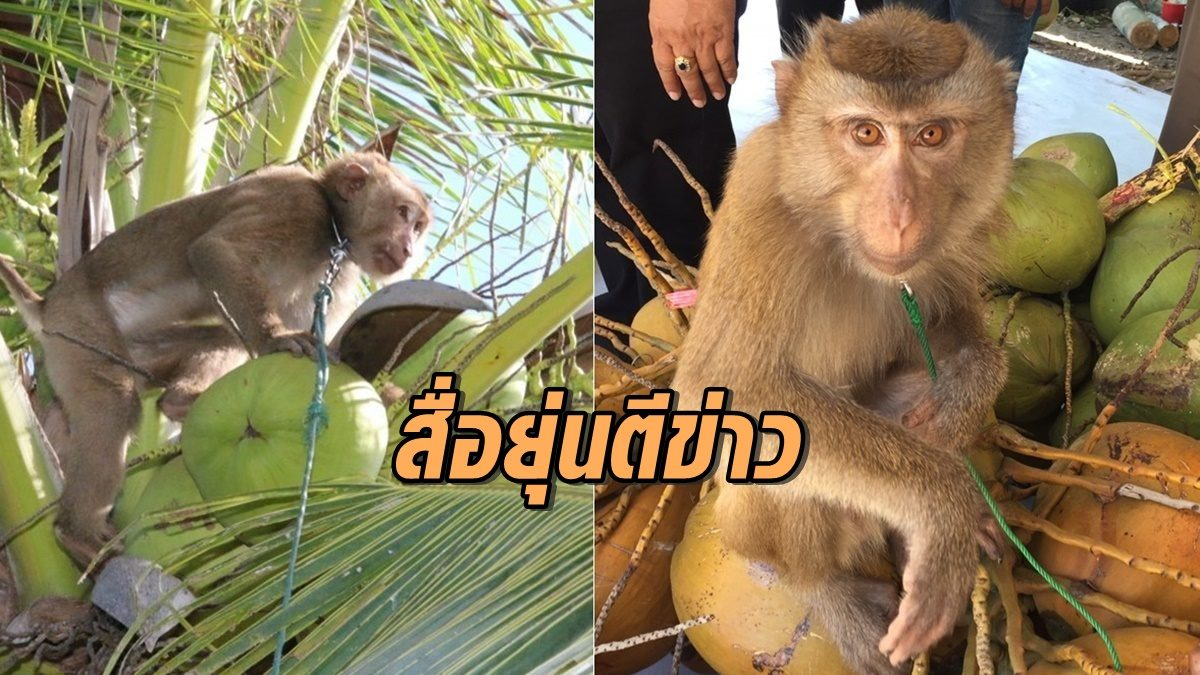 สื่อยุ่นตีข่าวลิงเก็บมะพร้าว จ่อลงพื้นที่ดูข้อเท็จจริง หลังกะทิไทยถูกแบน