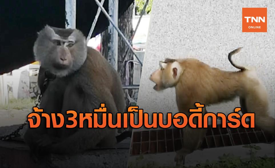 แปลกดี! จ้างลิงกังไล่ลิงแสมป่วนรื้อหลังคาศาลากลาง รับเงินเดือน 3 หมื่น