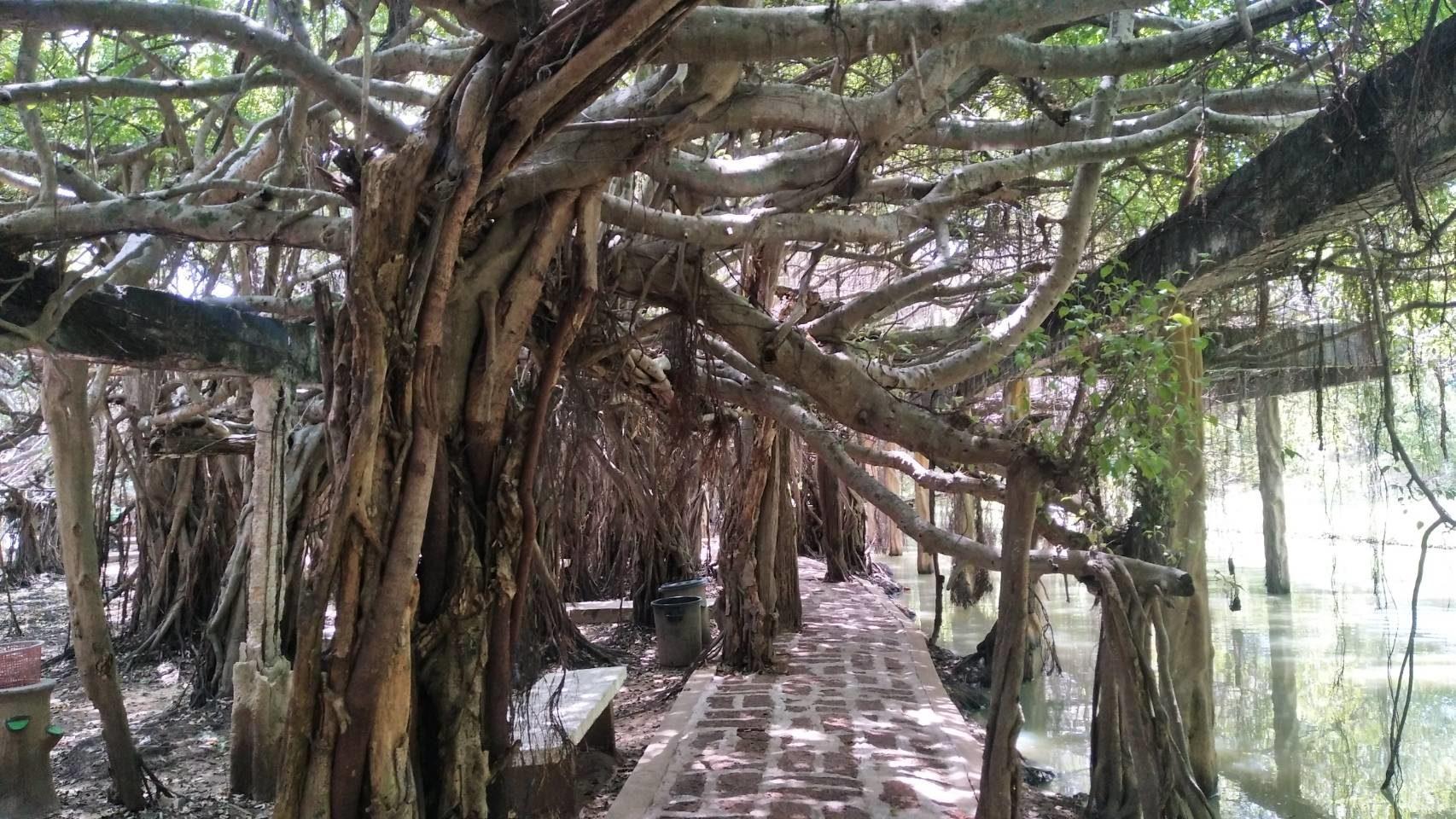 เที่ยวอุทยานไทรงามกว่า 350ปี ที่โคราช เปิดรับนักท่องเที่ยวแล้ว หลังปิดช่วงโควิดระบาด