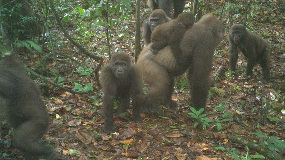 เผยภาพกอริลลาครอสริเวอร์ พันธุ์หายากที่สุดในโลกกับลูกน้อยในไนจีเรีย
