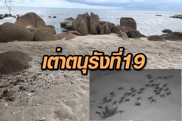 เฮ! เต่าสมุยวางไข่รังที่ 19 วงจรปิดเปิดภาพน่ารัก 60 กว่าตัวคลานลงทะเล