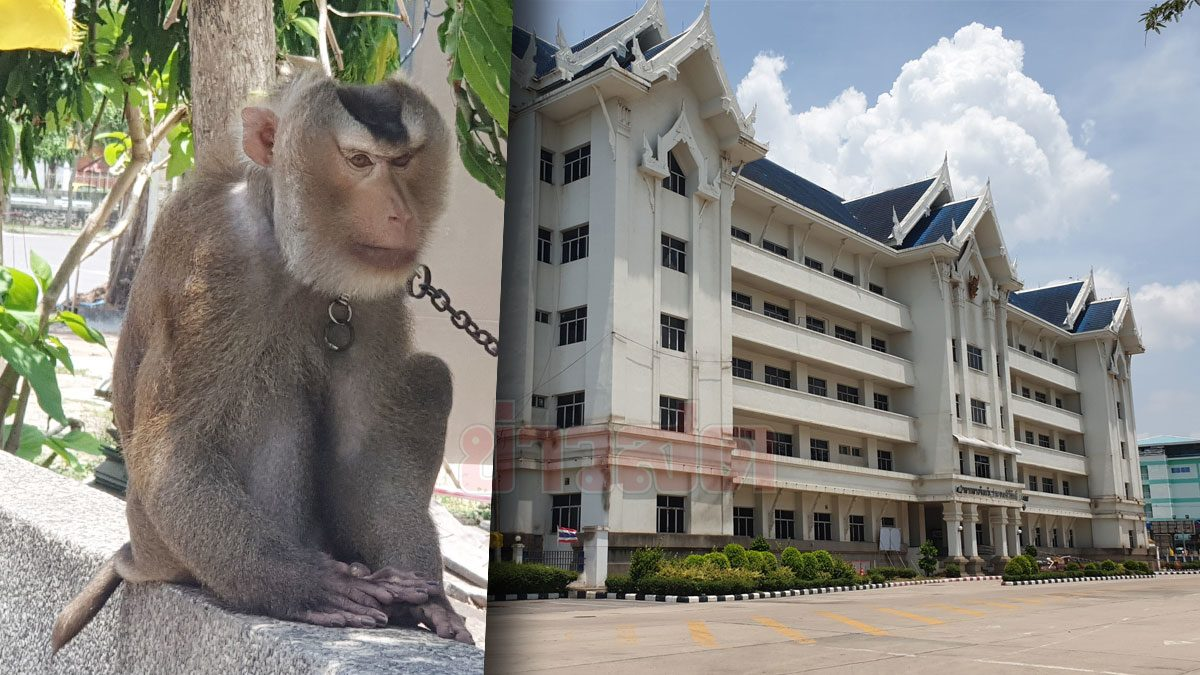 เลิกให้ลิงเก็บมะพร้าว หันมาเป็นยาม เฝ้าศาลากลาง ใช้สงครามเผ่าพันธุ์ กันลิงแสมรื้อหลังคา