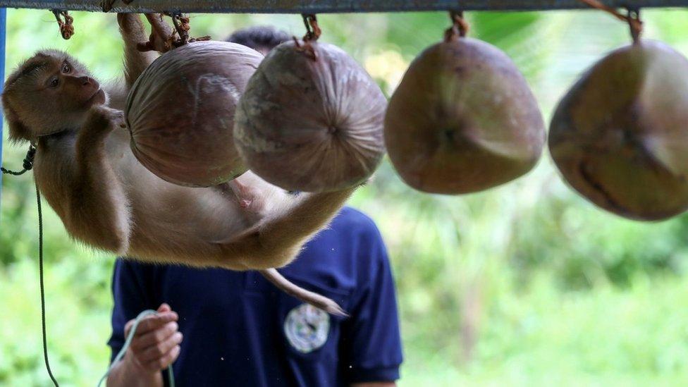 ชาวสวนมะพร้าวกังวล ผู้ส่งออกเลี่ยงซื้อจากสวนใช้ลิง หันนำเข้าจากเพื่อนบ้าน ทำราคารับซื้อตกเกือบเท่า