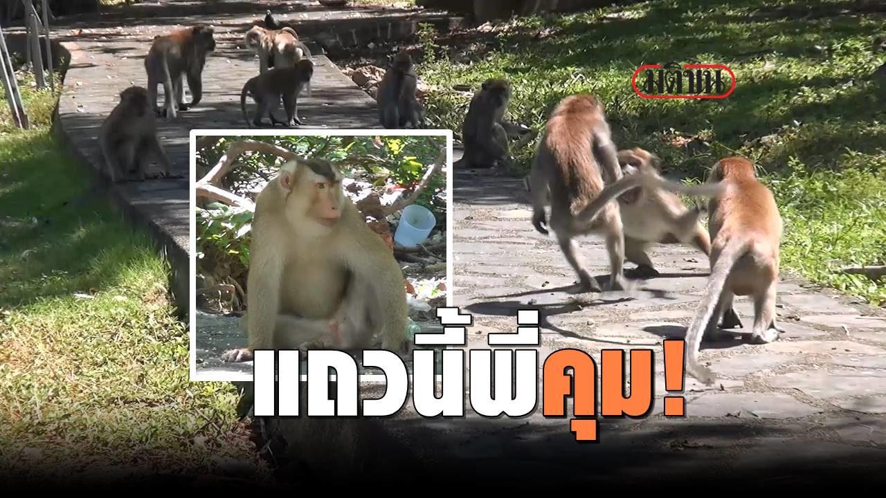 อย่างโหด 'ไมเคิล' เจ้าพ่อลิงกังเขาตังกวน ตัวใหญ่ใส่เดี่ยว สยบฝูงลิงนับร้อย