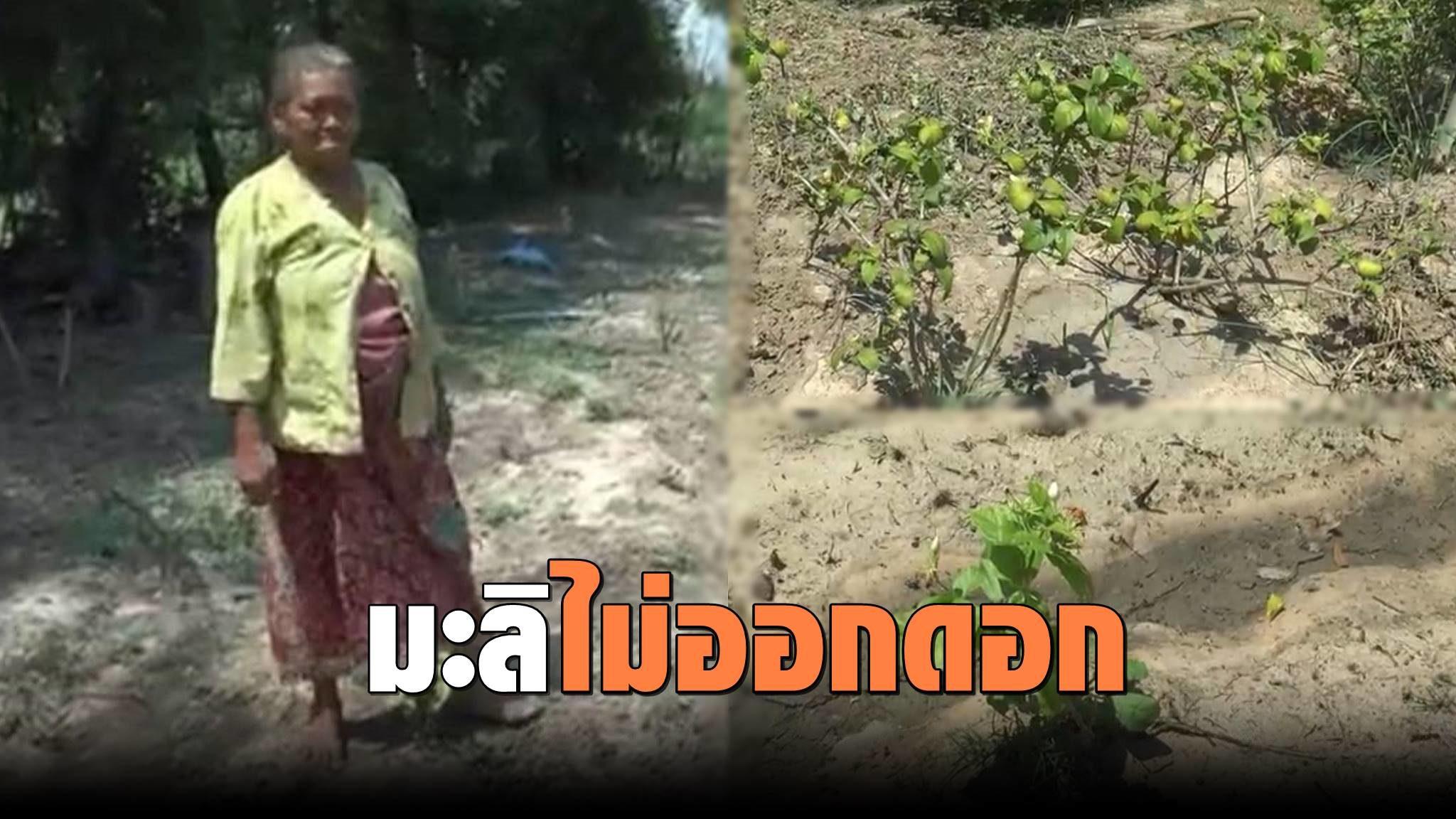 แล้งหนัก เกษตรกรโอดต้นมะลิไม่ออกดอก เดือดร้อนไม่มีมะลิขายวันแม่