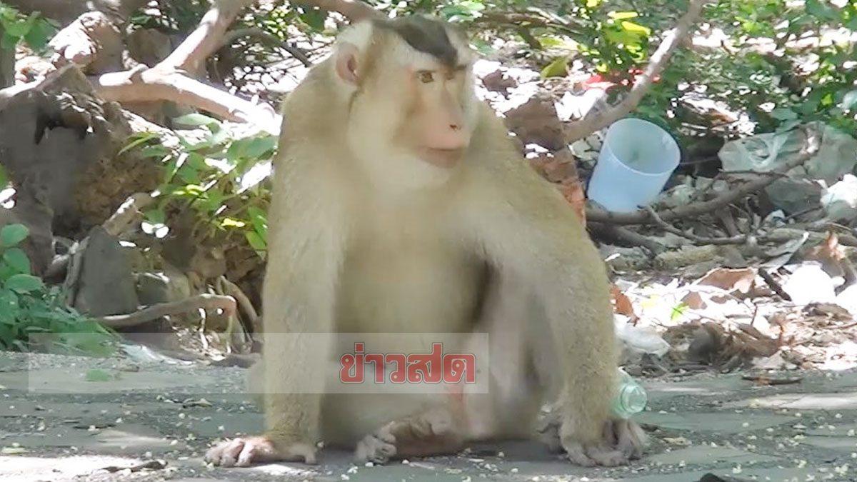 ไมเคิล เจ้าพ่อ ลิง เขาตังกวน บารมีคับฟ้า แก๊งอื่นเซ็งไม่กล้าแย่งอาหาร