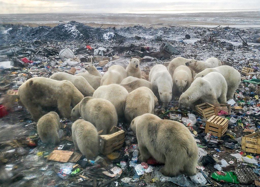 วิจัยชี้หมีขั้วโลกสูญพันธุ์ในปี 2100 หากอุณหภูมิโลกยังเพิ่มต่อเนื่อง