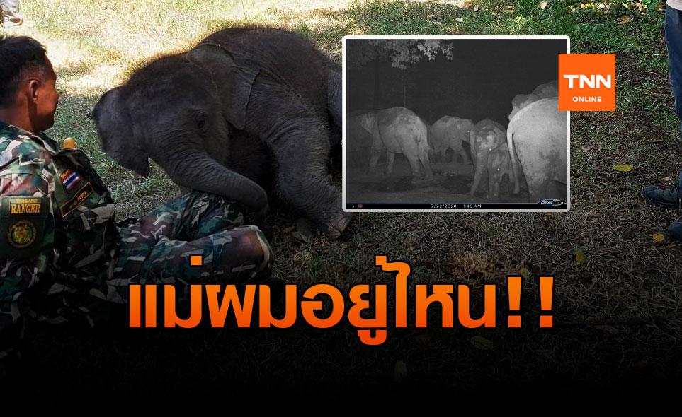เปลี่ยนแผนปล่อยลูกช้างป่าห้วยขาแข้งหลงฝูงตามหาแม่