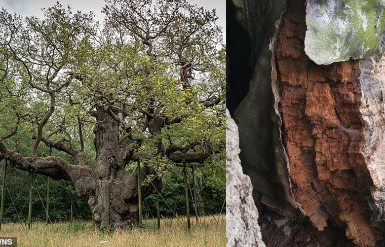 ต้นโอ๊คตำนานโรบินฮูด อายุนับพันปี ถูกคนปีนป่ายจนเสียหาย