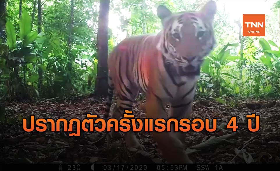 """เรื่องน่ายินดี! สื่อทั่วโลก ตีข่าวพบ """"เสือโคร่งอินโดจีน"""" 3 ตัวในไทย"""