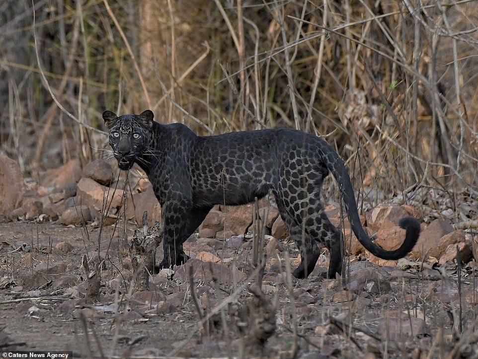 เสือดาวสีดำ หายากสุดๆ สวยสะกดช่างภาพอินเดีย ตะลึงงันอยู่ 10 นาที